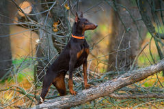 Brown doberman in forest Royalty Free Stock Photo