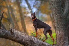 Brown doberman in forest stock images