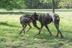 Brown Doberman Pinscher bawić się w parku Fotografia Royalty Free