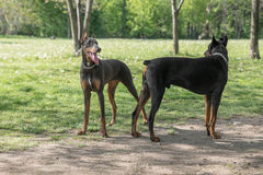 Brown Doberman Pinscher bawić się w parku Obraz Royalty Free