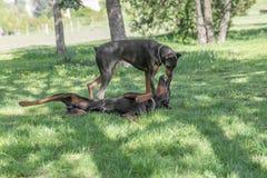 Brown Doberman Pinscher bawić się w parku Zdjęcia Royalty Free