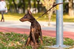 Doberman Pinscher dog in the park Stock Photo