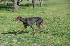 Brown Doberman Pinscher odprowadzenie w parku Obraz Stock