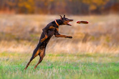 Brown doberman pinscher play Royalty Free Stock Photo