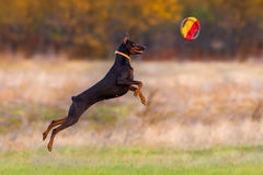 Brown doberman pinscher play Stock Photography