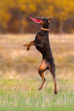 Brown doberman pinscher play Stock Image