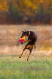 Brown doberman pinscher play Stock Images