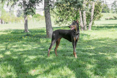 Brown Doberman pinscher portrait in the park Royalty Free Stock Images