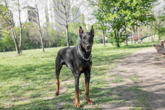 Brown Doberman pinscher portrait in the park Stock Images