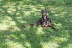 Brown Doberman pinscher portrait in the park Royalty Free Stock Photo