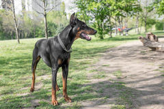 Brown Doberman pinscher portret w parku Obrazy Stock