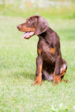 Brown doberman puppy Royalty Free Stock Image