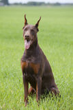 Brown doberman`s puppy Royalty Free Stock Photo
