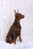 Brown Doberman sitting Stock Images