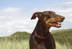 Brown Dobermann Kira fotografia de stock royalty free