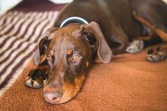 Brown-Dobermannhund mit den normalen Ohren, die auf ein Bett legen Lizenzfreie Stockfotos