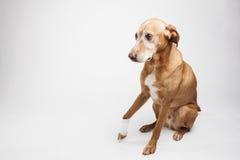Brown-dog's Bein wird in einem Verband eingewickelt Lizenzfreies Stockbild