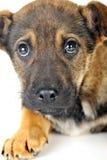 Brown dog Royalty Free Stock Image