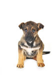Brown dog Stock Photography