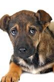 Brown dog Royalty Free Stock Photo