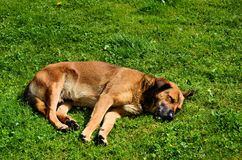 Brown dog. Homeless brown dog sleeping over the grass Stock Images