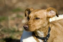 Brown dog. Spanish Galgo cute Royalty Free Stock Image