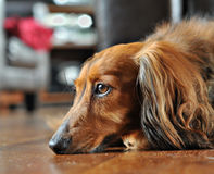 Brown dog Royalty Free Stock Images