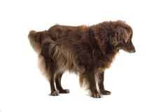 Brown Dog Royalty Free Stock Photo