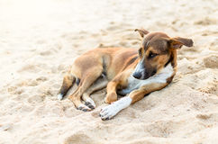A Brown Dog. Stock Photo