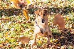 Brown dog and autumn leaves. Brown dog looking through autumn leaves. Autumn mood. Happy Stock Photo