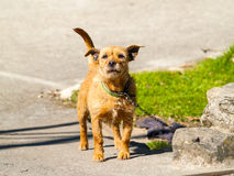Brown dog barking on a village at springtime. Brown dog barking on a village on springtime Stock Photography