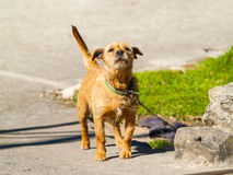 Brown dog barking on a village at springtime Royalty Free Stock Photography