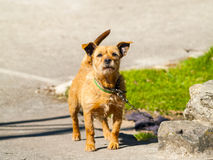 Brown dog barking on a village at springtime. Brown dog barking on a village on springtime Stock Image