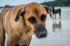 Brown dog on the beach stock images