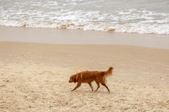 Brown dog on beach Stock Photos