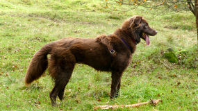 Brown dog. With beautiful thick fur Stock Image