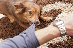 Brown dog biting. A human arm Royalty Free Stock Photos