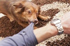 Brown dog biting. A human arm royalty free stock photos