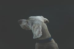 Brown Dog With Blue Collar Stock Photo