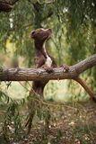The brown dog of breed a pit bull terrier. Costs on hinder legs, having put lobbies on a tree stock photos