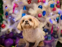 Brown Dog breed Shih Tzu was sitting watching. royalty free stock images