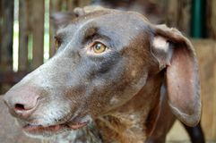 Brown dog with brown eyes. Animal face expression, pets, macro stock photo