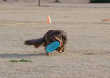 Brown dog catching a disc before it lands. Brown dog catching a disc right before it lands on the ground royalty free stock images