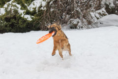 Brown dog is catching orange frisbee Royalty Free Stock Photography