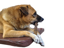 Brown dog chewing rawhide dogchew treat Stock Images