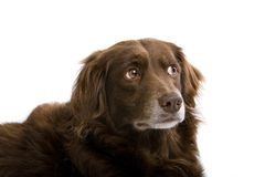 Brown Dog Closeup Royalty Free Stock Photos