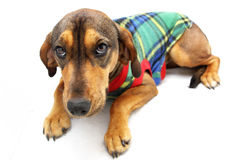 Brown Dog with Colorful Jersey Royalty Free Stock Photos