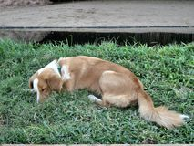 Brown dog deep skeep on green grass Stock Photography