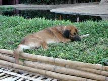 Brown dog deep skeep on green grass Royalty Free Stock Photos