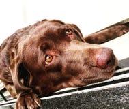 Labs dog Eyes say. Brown dog eyes say Royalty Free Stock Photo